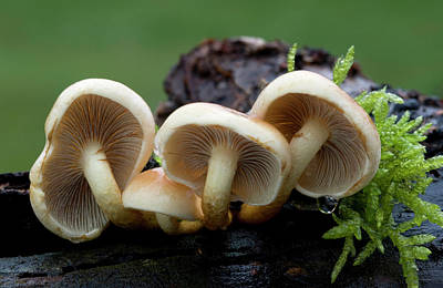 Agaricales Photograph - Sulphur Tuft Fungus by Nigel Downer