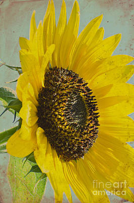 Photograph - Sunflower by Jim And Emily Bush