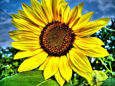 Photograph - Sunflower by Nina Ficur Feenan