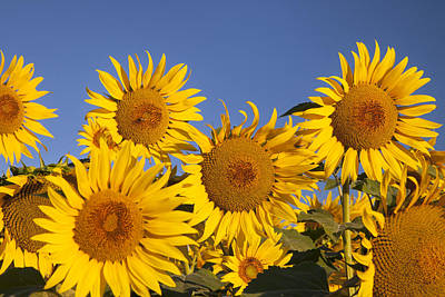 Photograph - Sunflowers by Brian Jannsen