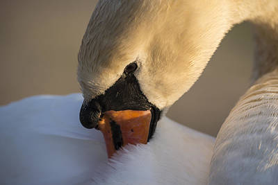 Photograph - Swan by Michael Mogensen