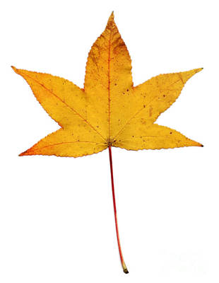 Photograph - Sweetgum Leaf by Scott Camazine