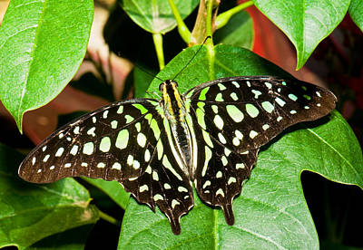 Photograph - Tailed Jay Butterfly by Millard H. Sharp