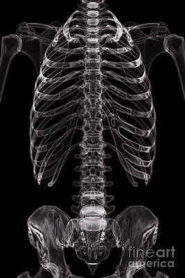 Photograph - The Bones Of The Torso by Science Picture Co