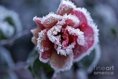 Snow Photograph - The Last Beauty Of A Rose by Gunn Samuelsen