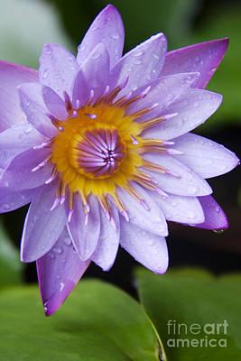Studio Grafika Zodiac - The Lotus Flower by Sharon Mau