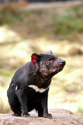 The Tasmanian Devil (sarcophilus Art Print by Martin Zwick