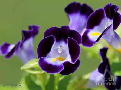 Photograph - Torenia Named Kauai Deep Blue by J McCombie