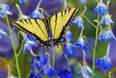 Blue Swallowtail Photograph - Two-tailed Swallowtail Butterfly by Darrell Gulin