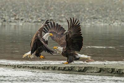 Usa, Alaska, Chilkat Bald Eagle Preserve Art Print by Jaynes Gallery