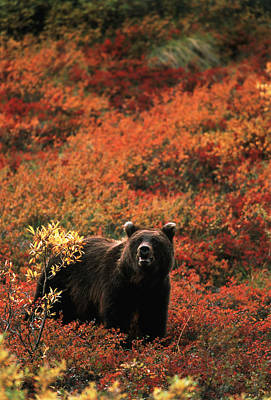 Brown Bear Photograph - Usa, Alaska, Denali National Park by Hugh Rose