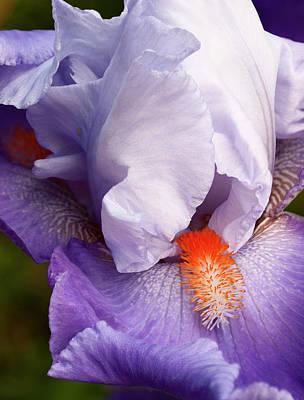 Bearded Iris Photograph - Usa, California, San Diego by Ann Collins