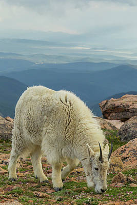 Rocky Mountain Goat Photograph - Usa, Colorado, Mt by Jaynes Gallery