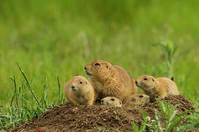 Prairie Dogs Photograph - Usa, Colorado, Rocky Mountain Arsenal by Jaynes Gallery