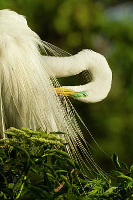 Great Egret Photograph - Usa, Florida, Gatorland by Jaynes Gallery