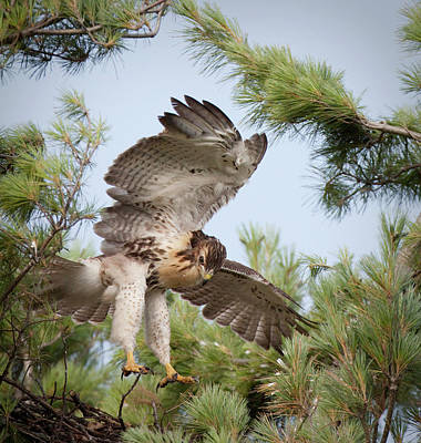 Red Tail Hawk Photograph - Usa, Indiana, Indianapolis by Jaynes Gallery