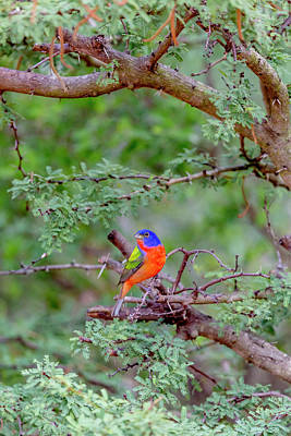 Painted Bunting Photograph - Usa, Texas, Gatesville, Santa Clara by Jaynes Gallery