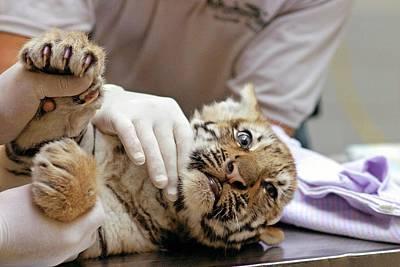 Michigan Detroit Zoo Photograph - Vets Examining An Amur Tiger Cub by Jim West