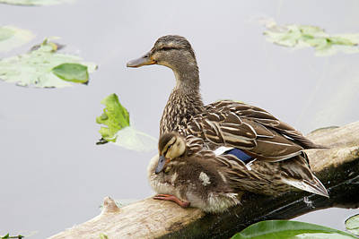 Wa, Juanita Bay Wetland, Mallard Female Art Print