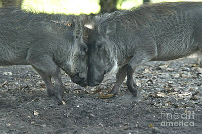Butting Heads Photograph - Warthogs by Mark Newman