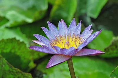 Photograph - Water Lily 13 by Allen Beatty
