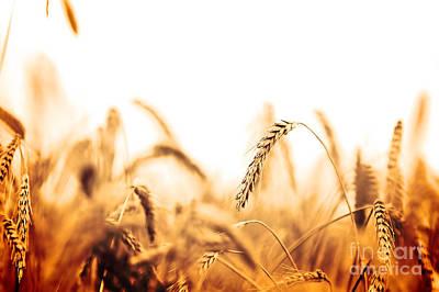 Produce Photograph - Wheat Field  by Michal Bednarek