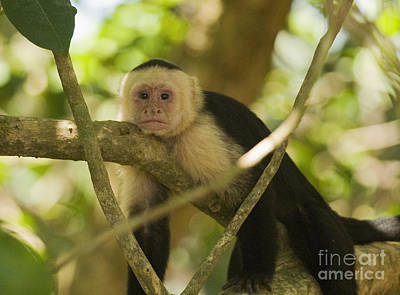 Photograph - White-faced Capuchin by Dan Suzio