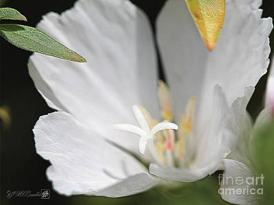 Clarkia Wall Art - Photograph - White Godetia From The Satin Mix by J McCombie