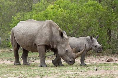 Rhinoceros Photograph - White Rhino And Calf by Bob Gibbons