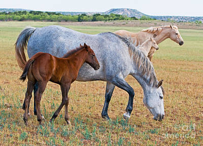 Wild Horse Mother And Foal Art Print by Millard H Sharp