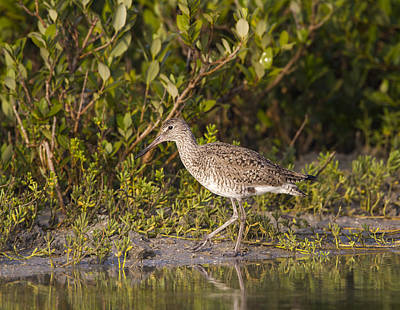 Photograph - Willet by Doug Lloyd