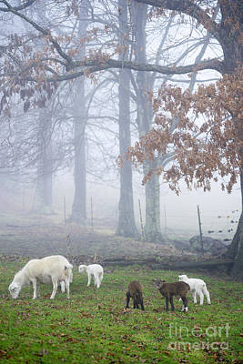 Winter Lambs Foggy Day Art Print by Thomas R Fletcher