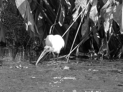Photograph - Wood Stork by Ron Davidson