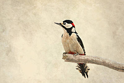 Woodpecker Photograph - Woodpecker by Heike Hultsch