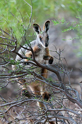 Yellow-footed Rock-wallaby (petrogale Art Print by Martin Zwick