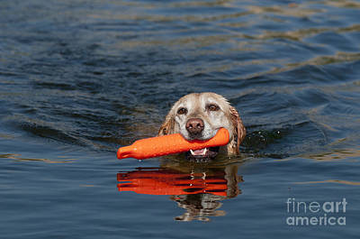 Water Retrieve Photograph - Yellow Labrador Retriever, Retrieving by William H. Mullins