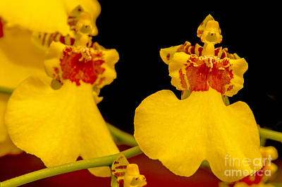 Wild Horse Paintings - Yellow Orchid Flower by Odon Czintos