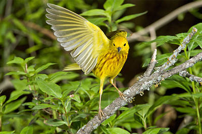 Photograph - Yellow Warbler by Anthony Mercieca