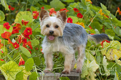 Photograph - Yorkshire Terrier Dog by John Daniels