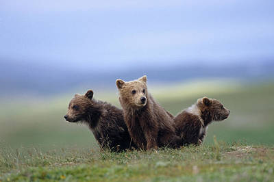 Alaska Photograph - 4 Young Brown Bear Cubs Huddled by Eberhard Brunner
