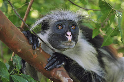 Red Monkey Photograph - Zanzibar Red Colobus Monkey by Thomas Marent