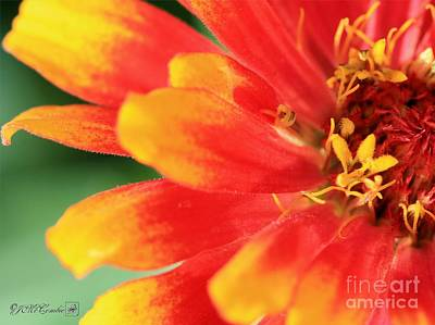 Zinnia From The Whirligig Mix Art Print