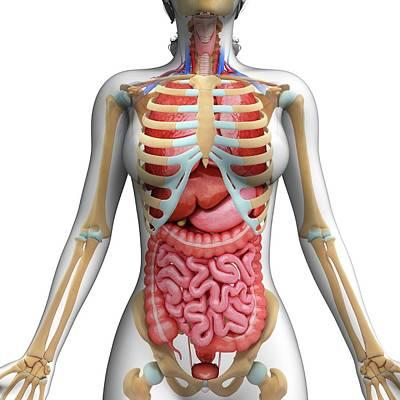Human Digestive System Art Print