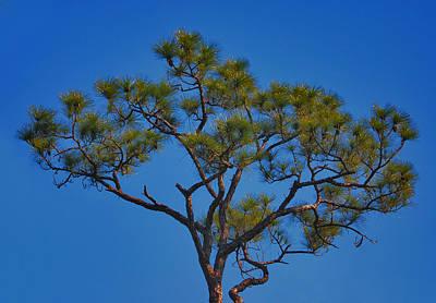 Photograph - 40- Slash Pine by Joseph Keane