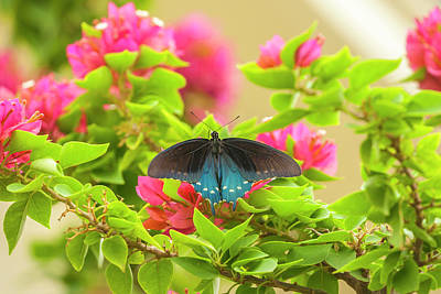 Pipevine Swallowtail Butterfly Photograph - Usa, Texas, Hidalgo County by Jaynes Gallery