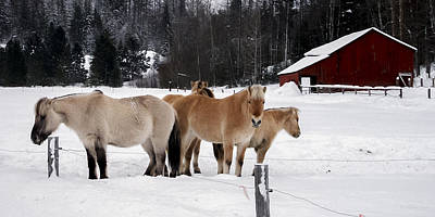 Photograph - 40104-5 Norwegian Horses by Albert Seger