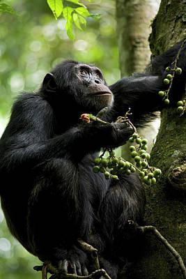 Dexter Photograph - Africa, Uganda, Kibale National Park by Kristin Mosher