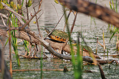 Photograph - 42- Florida Red-bellied Turtle by Joseph Keane