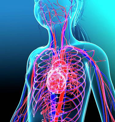 Human Cardiovascular System Art Print by Pixologicstudio/science Photo Library