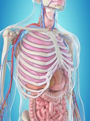 Human Internal Organ Photograph - Human Internal Organs by Sciepro
